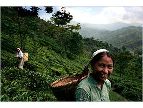 Darjeeling, Tea Plantations